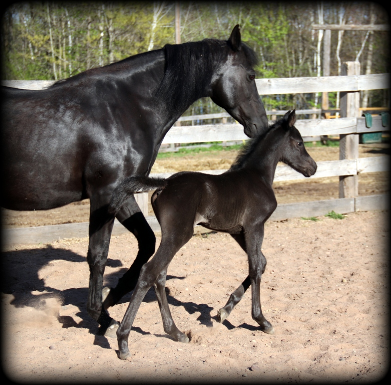 Licorice filly1