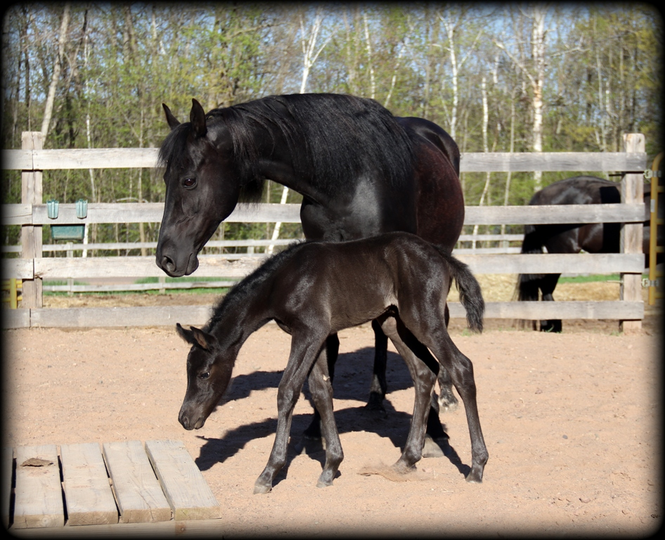 Licorice filly7.jpg1