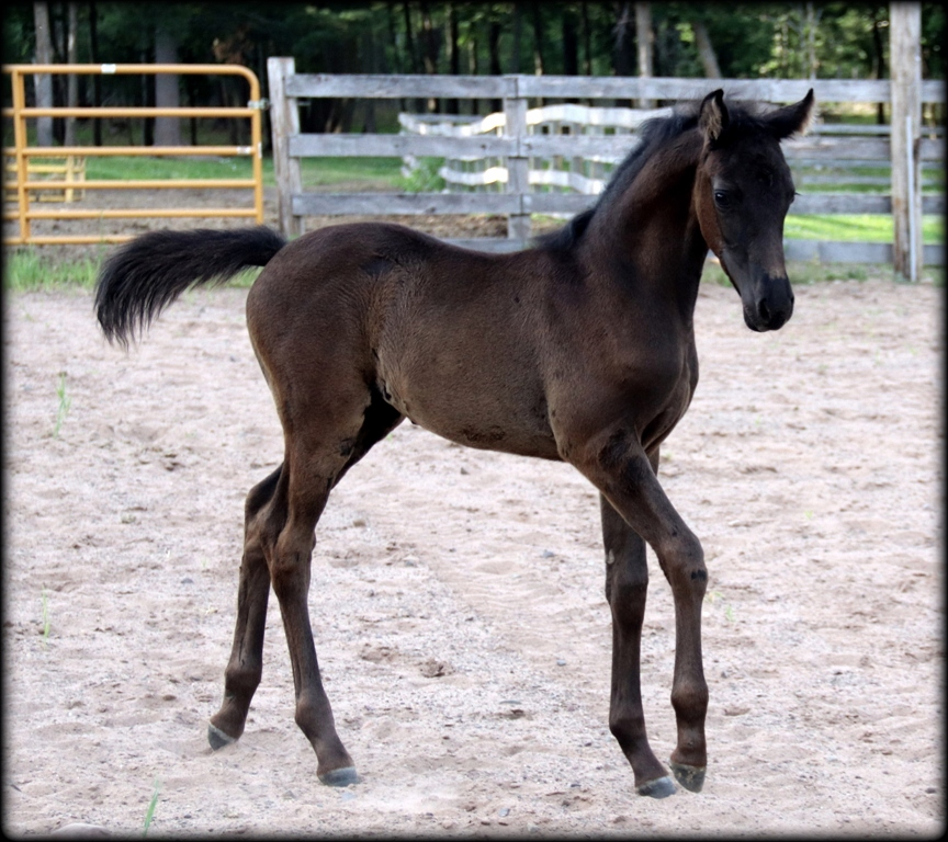 Licorice filly08.jpg1